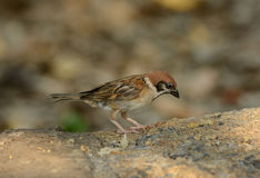 Eurasian Tree-Sparrow (Passer montanus) Royalty Free Stock Photo