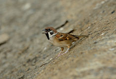 Eurasian Tree-Sparrow (Passer montanus) Stock Photo