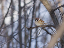 Eurasian Tree Sparrow, Passer montanus, close-up portrait on branch with bokeh background, selective focus, shallow DOF Royalty Free Stock Image