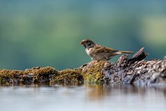 Eurasian tree sparrow Passer Montanus drinking from a small po Royalty Free Stock Image
