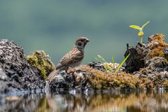 Eurasian tree sparrow Passer Montanus drinking from a small po Stock Image