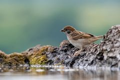 Eurasian tree sparrow Passer Montanus drinking from a small po Stock Photo