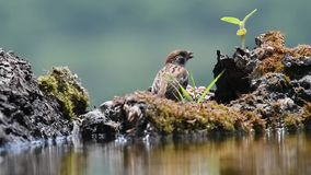 Eurasian tree sparrow passer montanus stock footage