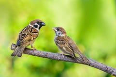 Eurasian Tree Sparrow or Passer montanus. Royalty Free Stock Photography