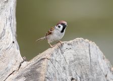 The Eurasian tree sparrow Passer montanus. Sits on the big log Stock Photography