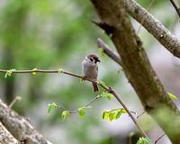Eurasian tree sparrow Passer montanus. The Eurasian tree sparrow Passer montanus sitting on a branch and searching for food Stock Images