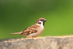Eurasian Tree Sparrow Stock Image