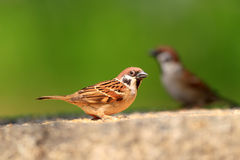 Eurasian Tree Sparrow Royalty Free Stock Photos
