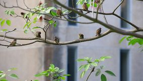 Eurasian tree sparrow stock video footage