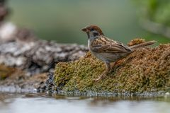 Eurasian tree sparrow Passer Montanus drinking from a small po Stock Images