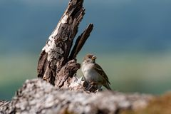 Eurasian tree sparrow Passer Montanus sitting sideways on a br Stock Photos