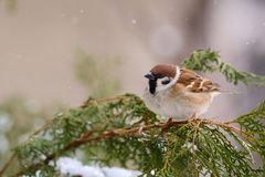 Eurasian tree sparrow Passer montanus sitting on the branch of a fir.  Royalty Free Stock Photography
