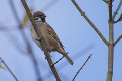 Eurasian tree sparrow, (passer montanus) sitting on a branch Royalty Free Stock Images