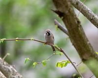 Eurasian tree sparrow Passer montanus. The Eurasian tree sparrow Passer montanus sitting on a branch and searching for food Royalty Free Stock Photos