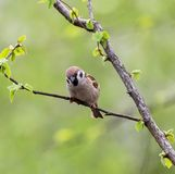 Eurasian tree sparrow Passer montanus. The Eurasian tree sparrow Passer montanus sitting on a branch and searching for food Royalty Free Stock Photography