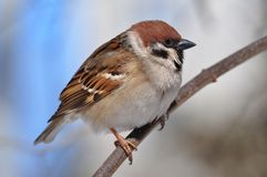 Eurasian tree sparrow sitting sideways on a thin branch very close. Eurasian tree sparrow Passer Montanus sitting sideways on a thin branch very close Stock Images