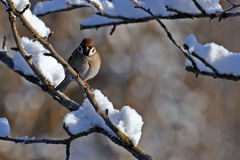 The Eurasian tree sparrow, Passer montanus. On a snow covered branch in Sweden Royalty Free Stock Photos