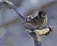 The Eurasian tree sparrow, Passer montanus Royalty Free Stock Images