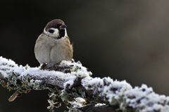 The Eurasian tree sparrow, Passer montanus Stock Photo