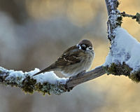 The Eurasian tree sparrow, Passer montanus Royalty Free Stock Photography