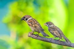 Eurasian tree sparrow or passer montanus. Stock Image