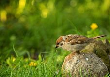 Eurasian Tree sparrow Passer montanus in summer Royalty Free Stock Photography