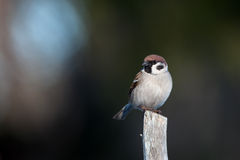 Tree Sparrow (Passer montanus) on the top of the pole Stock Images