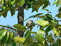 Eurasian Tree Sparrow Stock Photos
