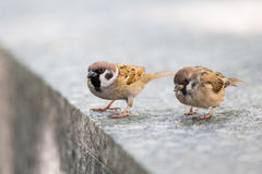 Eurasian Tree Sparrow perching. Hong Kong Royalty Free Stock Photography
