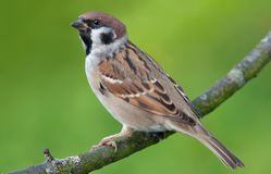 Eurasian tree sparrow perched on green background royalty free stock images