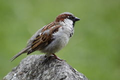 Eurasian tree sparrow on the rock Royalty Free Stock Images