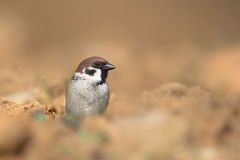 Eurasian Tree Sparrow sat on ploughed field Royalty Free Stock Photography