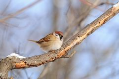 Eurasian tree sparrow sit on a branch covered with flaky bark. Eurasian tree sparrow Passer Montanus sitting on a branch covered with flaky bark Royalty Free Stock Photography