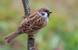Eurasian tree sparrow sits on lichen covered branch with view from his back royalty free stock images