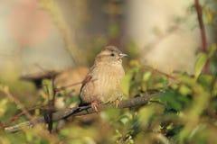 Eurasian tree sparrow Stock Photography
