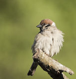 Eurasian Tree Sparrow. Sitting in the branch Stock Image