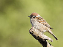 Eurasian Tree Sparrow. Sitting in the branch Royalty Free Stock Photos