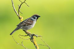 Eurasian tree sparrow Stock Images
