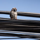 Eurasian Tree Sparrow sitting on a power cable, cleaning itself Royalty Free Stock Image