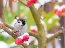 Tree sparrow sitting in a snow covered apple tree Royalty Free Stock Photos