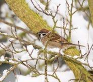 Eurasian tree sparrow sitting in tree Royalty Free Stock Photos