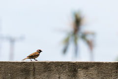 Eurasian Tree Sparrow walking on concrete wall. With copy space Stock Images