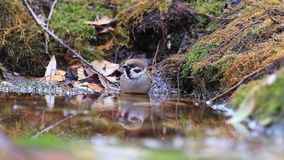 Eurasian tree sparrow on the water among fallen leaves stock footage