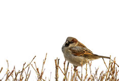 Eurasian tree sparrow, white background. Royalty Free Stock Photography