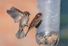 Eurasian Tree Sparrows fights in air near a feeder stock photography