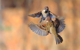 Eurasian Tree Sparrows dance and fight high in the air royalty free stock photo
