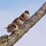 Eurasian tree sparrows in Hiroshima Peace Memorial Park. Japan stock image