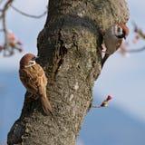 Eurasian tree sparrows in Hiroshima Peace Memorial Park. Japan royalty free stock images
