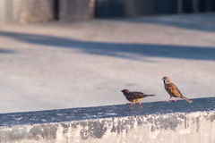Sparrows perched on a wall stock photo image of gourd 97899588 an eurasian tree sparrows on the wall royalty free stock images thecheapjerseys Gallery