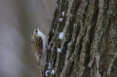 Eurasian Treecreeper Stock Photography